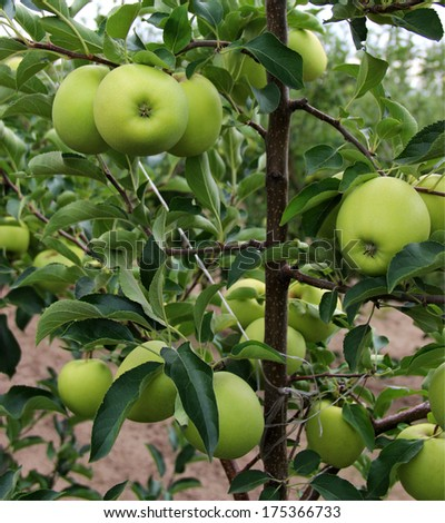 Golden Delicious apple sort/Apples in orchard - stock photo
