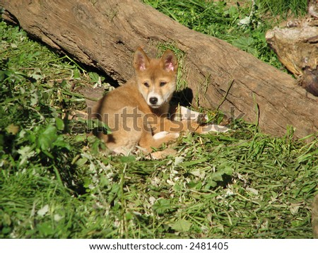 golden dingo - stock photo