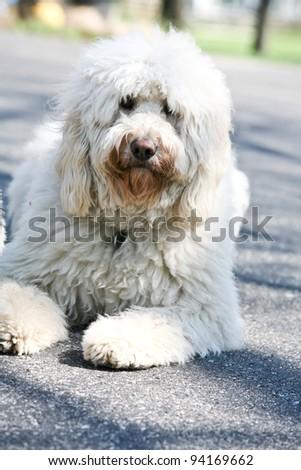 Golden Doodle Dog outdoors long fur - stock photo
