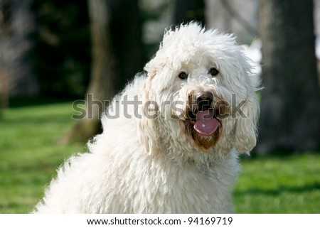 Golden Doodle Dog outdoors long fur - stock photo