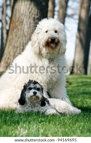 Golden Doodle Dog outdoors with a small black and white dog - stock photo