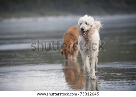 Golden Doodle walks towards the camera on a wet sandy beach. - stock photo