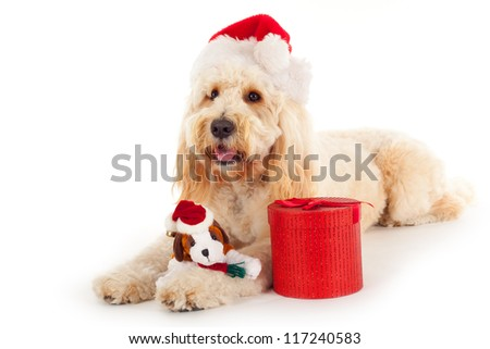 Golden doodle with christmas present and hat - stock photo