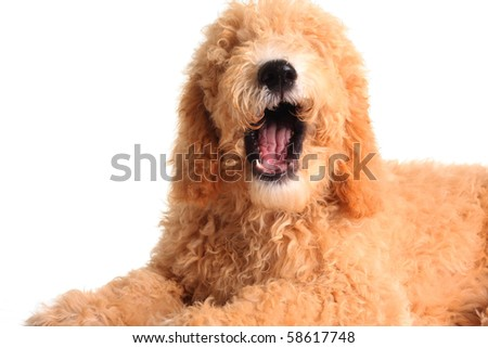 Golden doodle with it's mouth open as if speaking. - stock photo