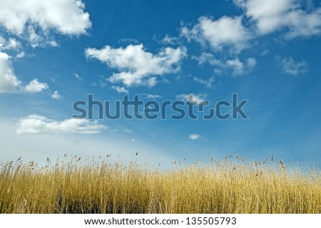 Golden dune grass on a sunny day with blue sky and white clouds - stock photo