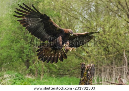 Golden eagle about to land. A magnificent golden eagle is seen as it prepares to land on a tree stump - stock photo