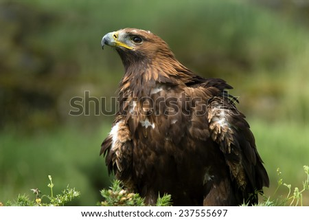 Golden Eagle against a background of green foliage/Golden Eagle/Golden Eagle (aquila chrysaetos)  - stock photo