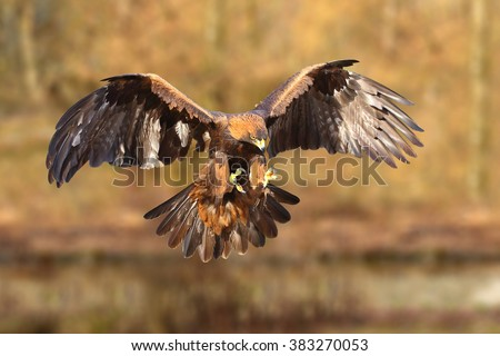 Golden Eagle (Aquila chrysaetos) - stock photo