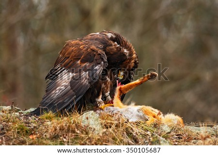 Golden Eagle, Aquila chrysaetos, bird of prey  with kill red fox on stone, photo with blurred orange autumn forest in the background, Norway   - stock photo