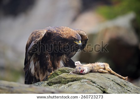 Golden Eagle, Aquila chrysaetos, feeding on kill Deer in the rock stone mountains - stock photo