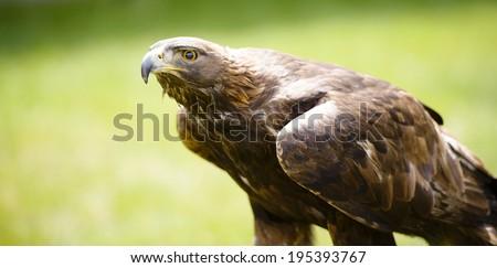 Golden eagle (Aquila chrysaetos) is a North American bird of prey.  - stock photo