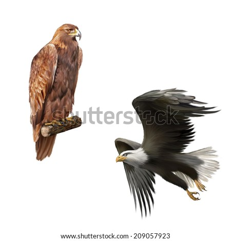 golden eagle (Aquila chrysaetos) orel skalni, merican bald eagle in flight isolated on white background - stock photo