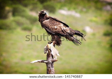 Golden Eagle (Aquila chrysaetos) perched on branch with rabbit - stock photo