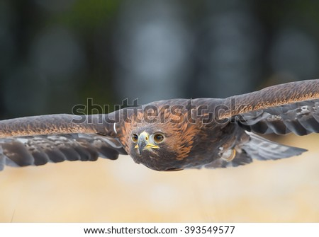 Golden eagle flying over the yellow grass closeup, with clean background, Czech Republic, Europe - stock photo