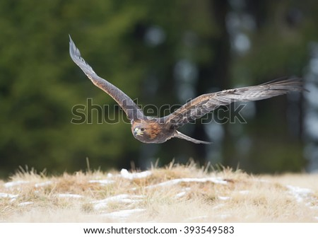 Golden eagle flying over the yellow grass, with clean background, Czech Republic, Europe - stock photo