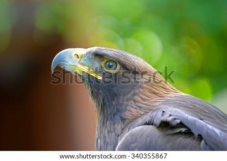 Golden Eagle Head Face, British Columbia, Canada - stock photo