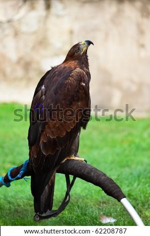 Golden eagle in Prague Castle - stock photo
