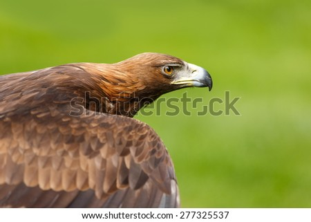 golden eagle is flapping  wings - stock photo