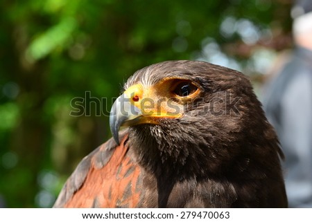 golden eagle is looking in the cam - stock photo