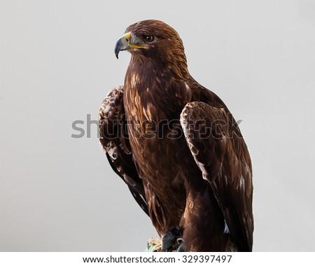 Golden Eagle on gray background - stock photo