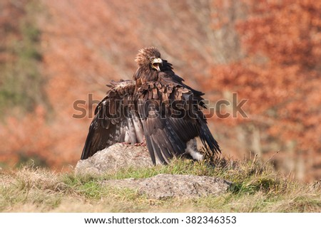 Golden eagle sitting on the rock with prey on the meadow,(Aquila chrysaetos), Czech republic - stock photo