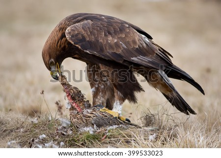 Golden eagle tearing up a caught pheasant - stock photo