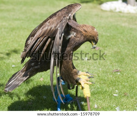 Golden Eagle tethered to the ground in a field - stock photo