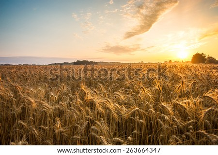 Golden ears and field of wheat ready to be harvested. This photo made in Hungary - stock photo