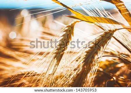 Golden ears of wheat on the field. Macro image. - stock photo