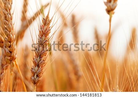 Golden ears of wheat on the field. Macro image. - stock photo