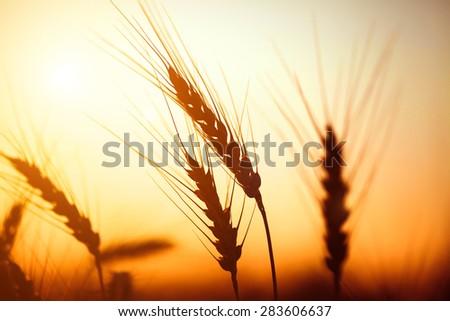 Golden ears of wheat on the field. Sunset light. - stock photo
