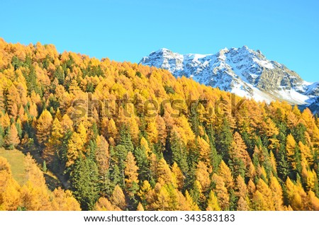 Golden evening light illuminates a larch forest with the Meidspitz and Rotighorn in the background. Southern swiss alps above Sierre - stock photo