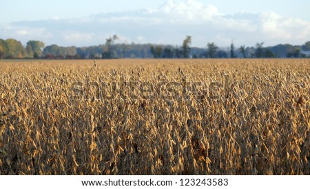 Golden field of soy beans are ready to harvest - stock photo