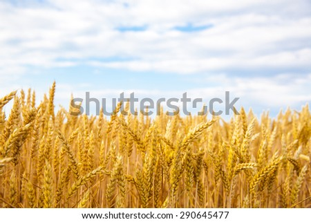 golden field of wheat and blue sky above - stock photo