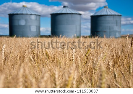 golden field of wheat in the foreground with old grain silos against a blue sky in the background - stock photo