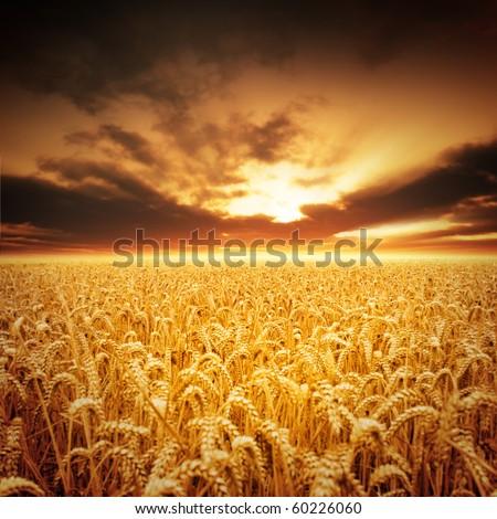 Golden fields of beautiful wheat. - stock photo