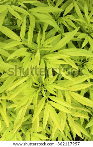 Golden foliage of coreopsis (binomial name: Coreopsis tripteris), also known as tickseed, northern Illinois in spring, for backgrounds with motifs of nature, gardening, growth - stock photo