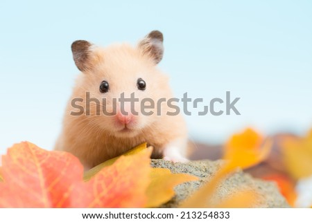 Golden Hamster and Autumn leave. - stock photo