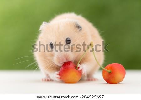 Golden Hamster eating cherry. - stock photo