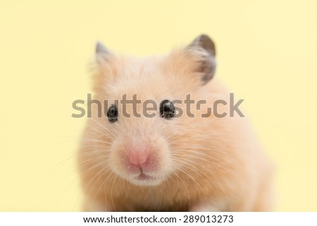 Golden Hamster on yellow background. - stock photo