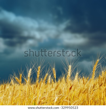 golden harvest on field and dramatic sky. rain before - stock photo