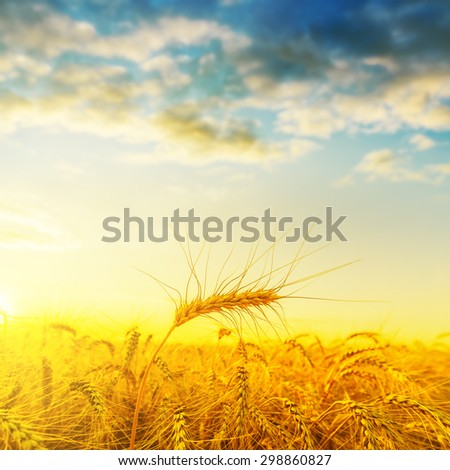 golden harvest on field under sunset with clouds. soft focus - stock photo