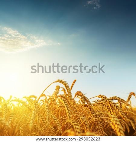 golden harvest on sunset - stock photo