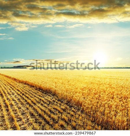 golden harvesting field and sunset over it - stock photo