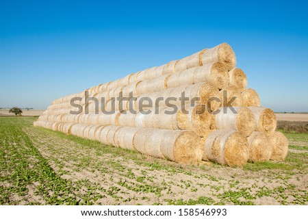 Golden hay bales harvested. - stock photo