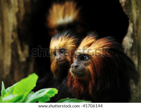 Golden headed Lion Tamarin with baby  (Leontopithecus chrysomelas) - stock photo