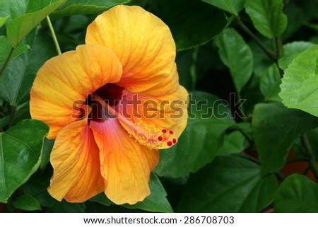 Golden Hibiscus blooming(Hibiscus rosa-sinensis) - stock photo