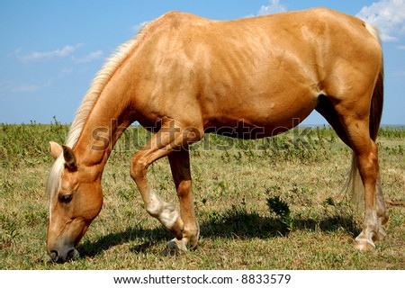 Golden Horse Eating in Pasture - stock photo