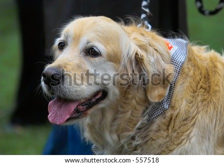 Golden Labrador portrait - stock photo