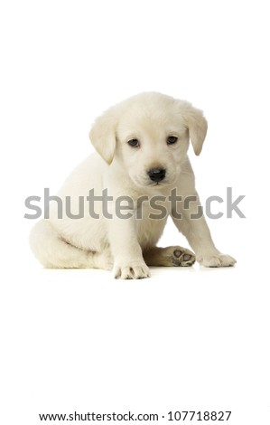 Golden Labrador Puppy isolated on a white background - stock photo